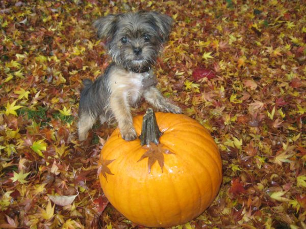 We don't really observe Hallowe'en on this site, but we're always up for a pup on a pumpkin.