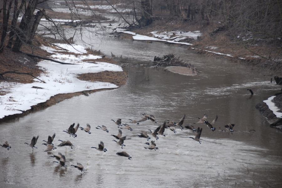 Canada geese on the Wabash River, Indiana.