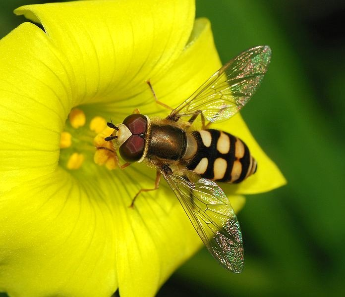 For Joy in God's Creation: hoverfly on a Bermuda buttercup.