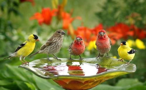 For Joy in God's Creation: American goldfinches and house finches. When I lived in Indianapolis I used to hang baskets of impatiens on my balcony, and one day I discovered that a pair of house finches had built a nest. I went to water my flowers and all of a sudden an angry finch rose up to squawk at me; when I looked the nest had three tiny eggs. From then on I'd always announce I was coming with the watering can, and in time he learned not to get quite so upset. He and his mate took turns sitting on the eggs; he was a very dedicated husband. In time the eggs would hatch and the parents took turns feeding them. Finally the babies would fledge and the whole family would disappear – but those monogamous parents returned every year to the same pot. I admired him for building his girlfriend a nest in the safest, most beautiful spot he could find, in their own private garden with a roof overhead. (allaboutbirds.org)