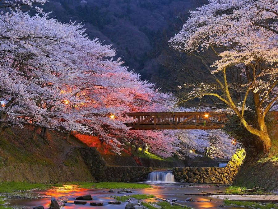 For Joy in God's Creation: cherry trees in Kyoto, artfully lit.