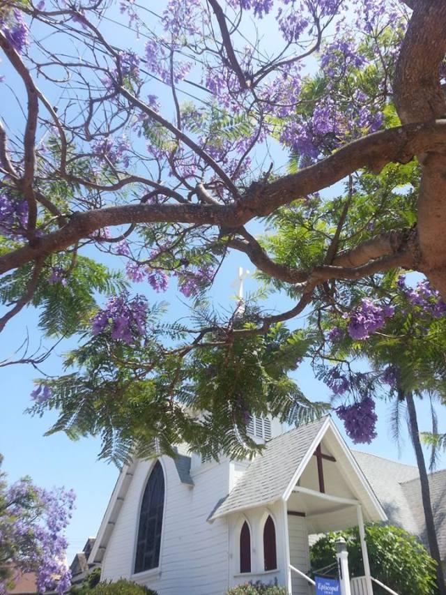 Jacaranda tree in bloom this week at Christ Church, Redondo Beach, California. (Fr. Robert Cornner)