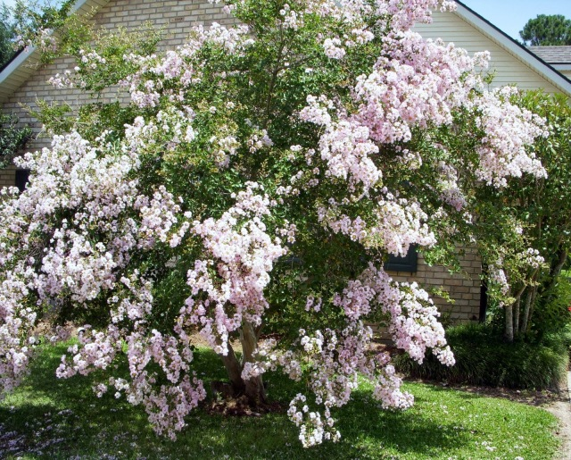 A crepe myrtle tree in Louisiana, badly hurt in a hurricane years ago, has returned in all its glory. (June Butler)