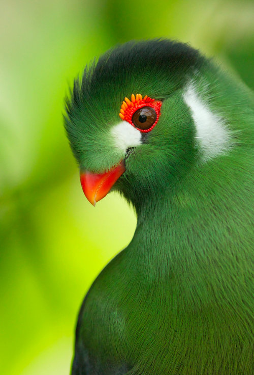 For joy in God's creation: a green turaco of sub-Saharan Africa. (via Facebook)