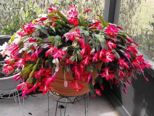 For joy in God's creation: Christmas cactus. (The Humble Gardener)
