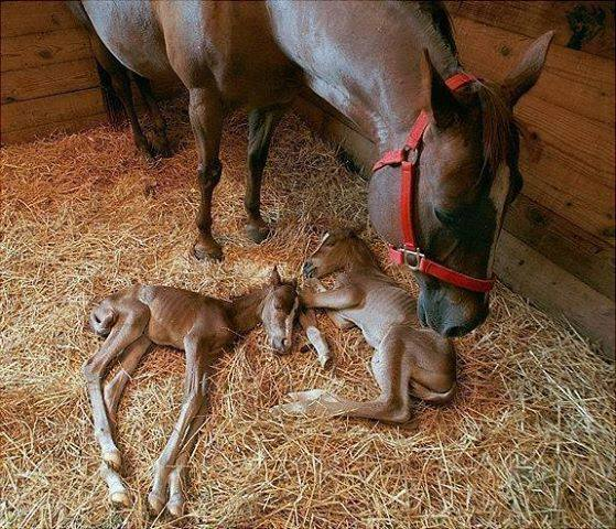 For joy in God's creation: two newborn foals. Twins are very rare among horses; these were born in a manger, too. (Interesting Amazing World)