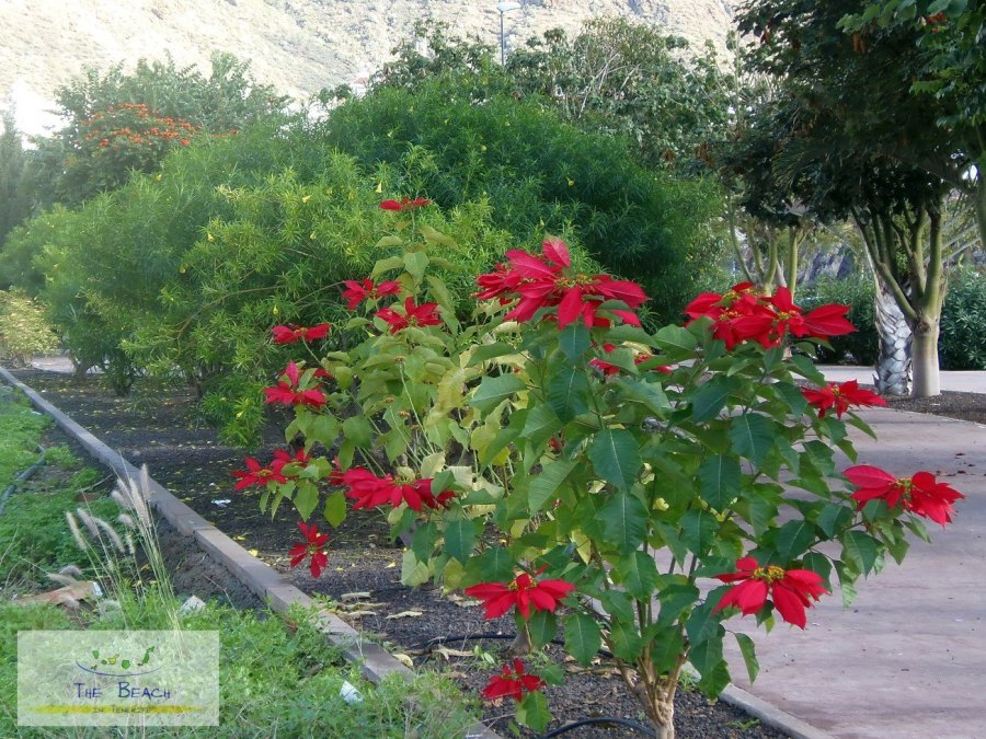 For joy in God's creation: poinsettias in their native habitat of México and Central America, more a bush than a potted plant. (Stephen Dodgson)