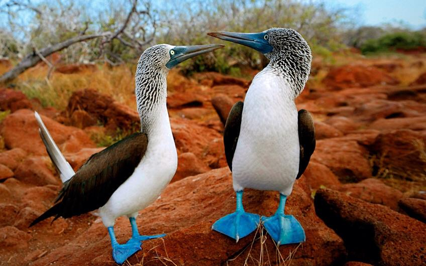 For joy in God's creation: blue-footed boobies of the Galapagos Islands. Their bills are blue too. (abritinecuador.com)