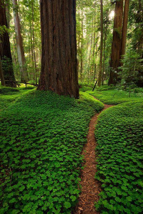 For joy in God's creation: California redwoods and clover. (source unknown)