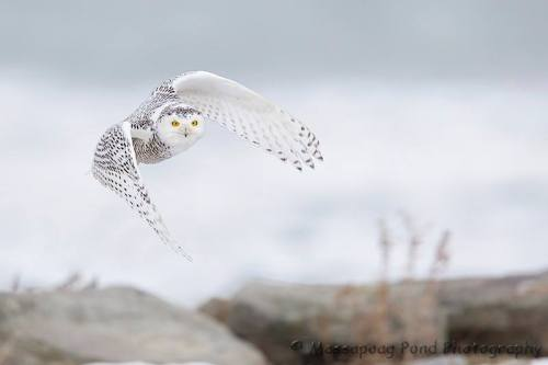 For joy in God's creation: snowy owl two weeks ago in Maine, USA. Locals are excited to see these rare owls, but there's  concern, too; they're supposed to be wintering in the Arctic Circle. (Massapoag Pond Photography)