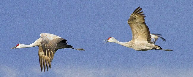 For joy in God's creation: sandhill cranes. To the Miami Indians they're known as twa-twas, after their call; most are probably migrating about now to their nesting grounds in the Arctic Circle, and no doubt practicing their mating dance every time they stop to feed. (Mike Siegel/Seattle Times)
