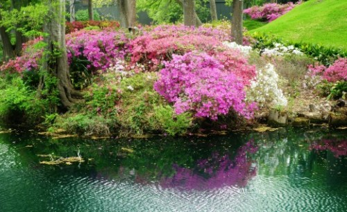 Azalea Trail, Houston, Texas (Peggy Woods)