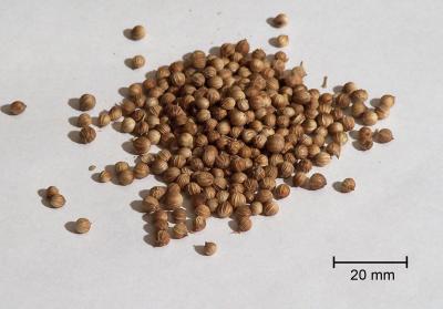 Dried coriander (Wikipedia)