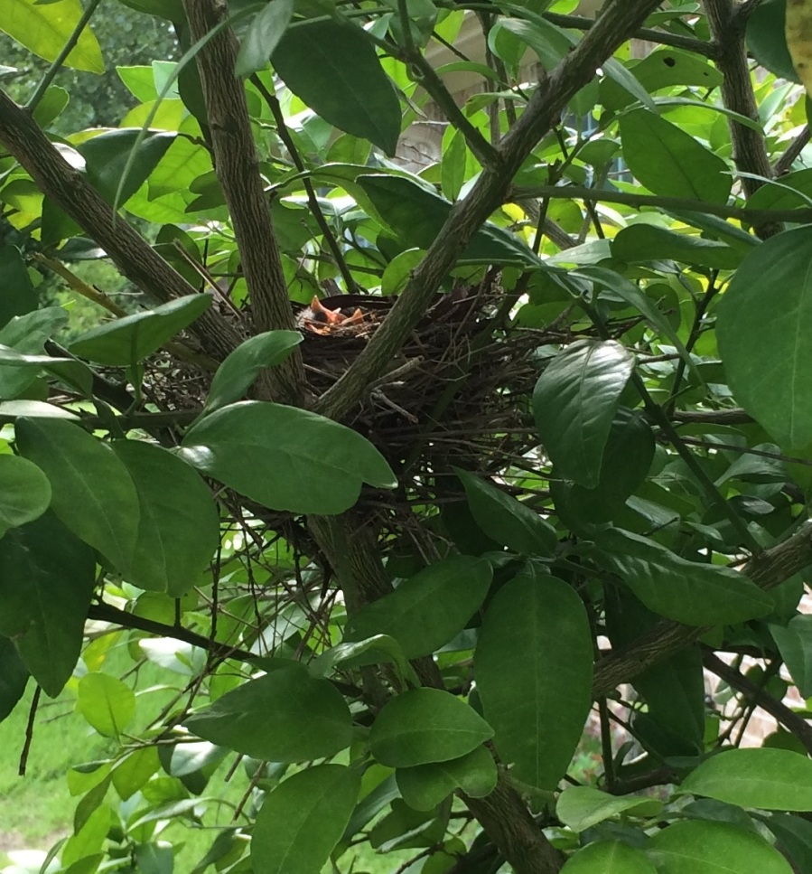 For joy in God's creation: hatchlings in a cardinal's nest, Pearland, Texas, July 2014. (Clint Gilliland)