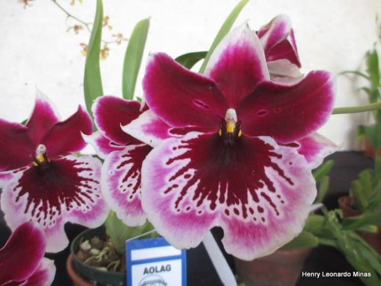 For joy in God's creation: orchids in Guatemala (Henry Leonardo Minas)