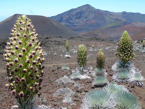 """It's rare when the Hawaiian silversword blooms, only every 5-20 years or so, but now is the time for this colony. """"All that grows upon the earth, sing praise and give honor for ever."""" (Hawaii News Now on Facebook)"""