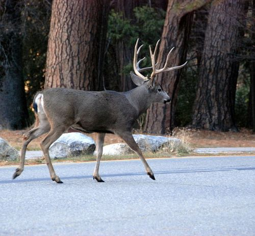 Glorify the Lord, O beasts of the wild: a mule deer in Yosemite National Park, California. (Constantine Kulikovsky in Wikipedia)