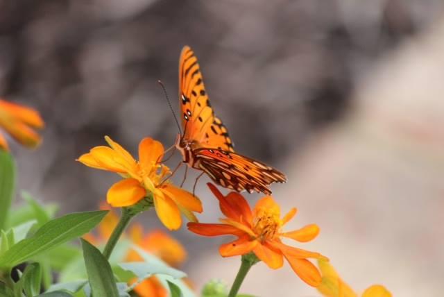 Monarch butterfly (The Rev. Malcolm Marler)