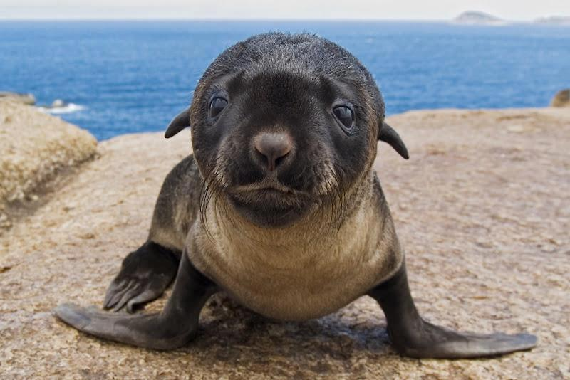 Hello there: an Australian fur seal, another joy of God's creation.