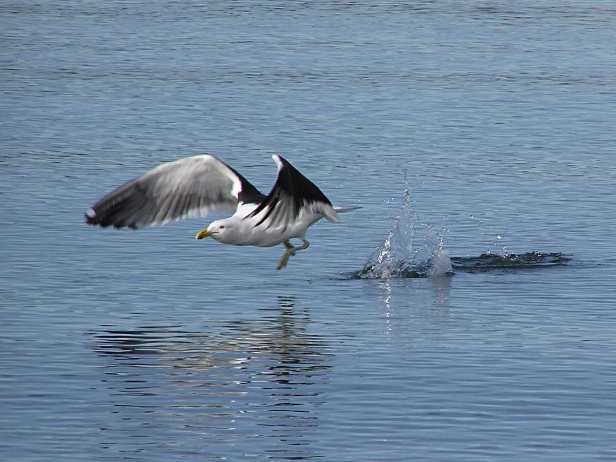 For the beauty of the earth: black-backed gull in Wellington Harbor, New Zealand (Tony Wills, Wikipedia)