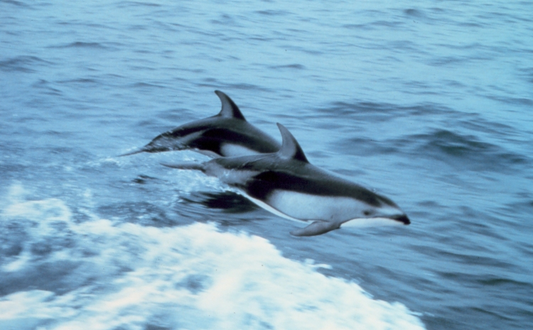 Pacific white-sided dolphins, bless ye the Lord! (Capt. Budd Christman, National Oceanic and Atmospheric Administration)