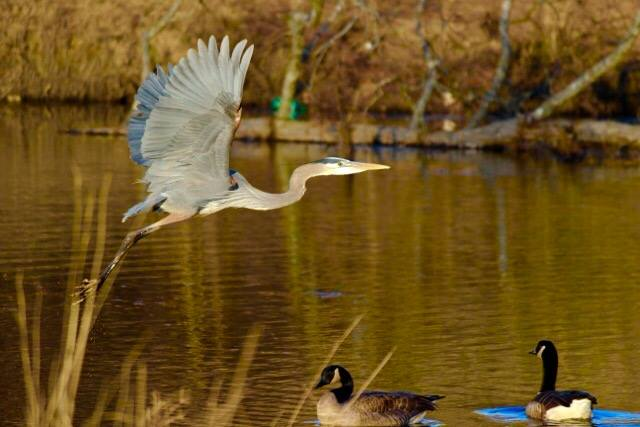 For the beauty of the earth: blue heron and geese. (Malcolm Marler)