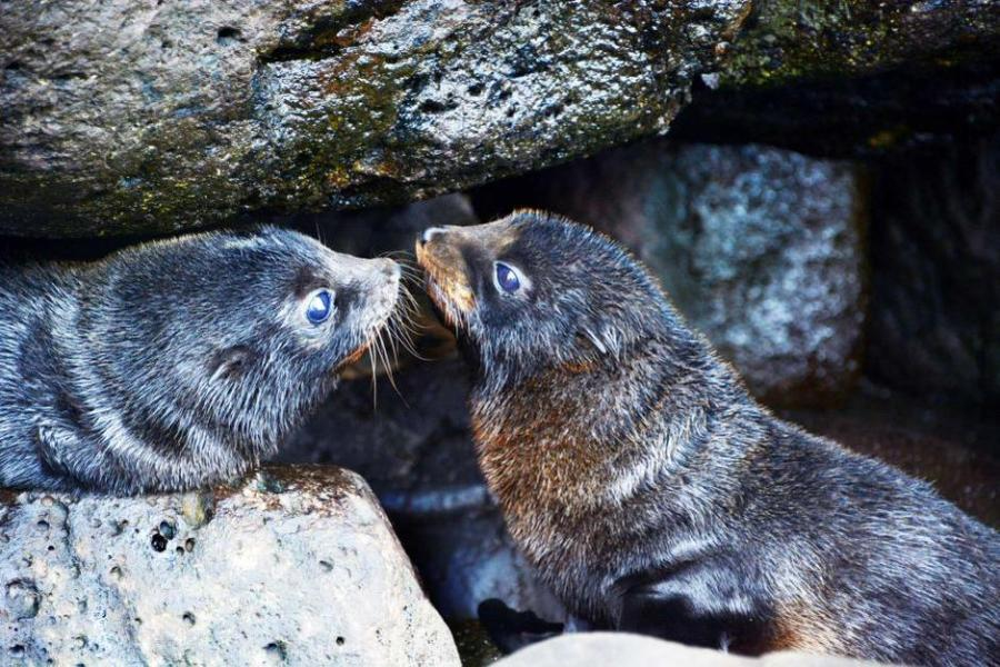 Australian and New Zealand fur seals, glorify the Lord: sing praise and give honor for ever, because you're making a comeback at Cape Bridgewater. They were nearly wiped out 200 years ago, and just 20 years ago there was only one baby in the colony. (Parks Victoria)
