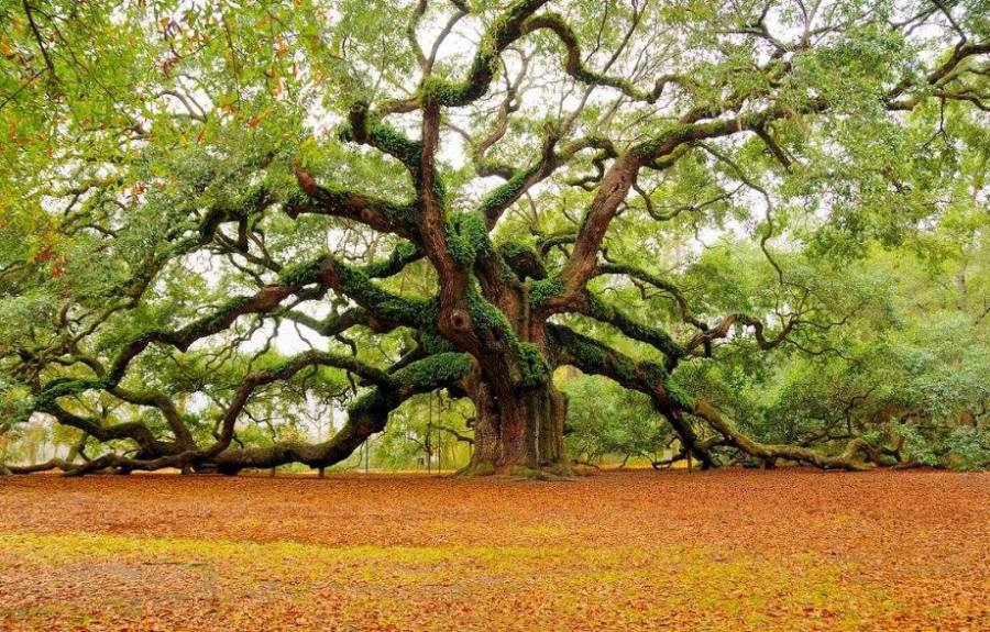 The Angel Oak tree, a live oak said to be 400 to 1400 years old, in a park built to protect it on Johns Island near Charleston, South Carolina. (photo: Caring for Trees)