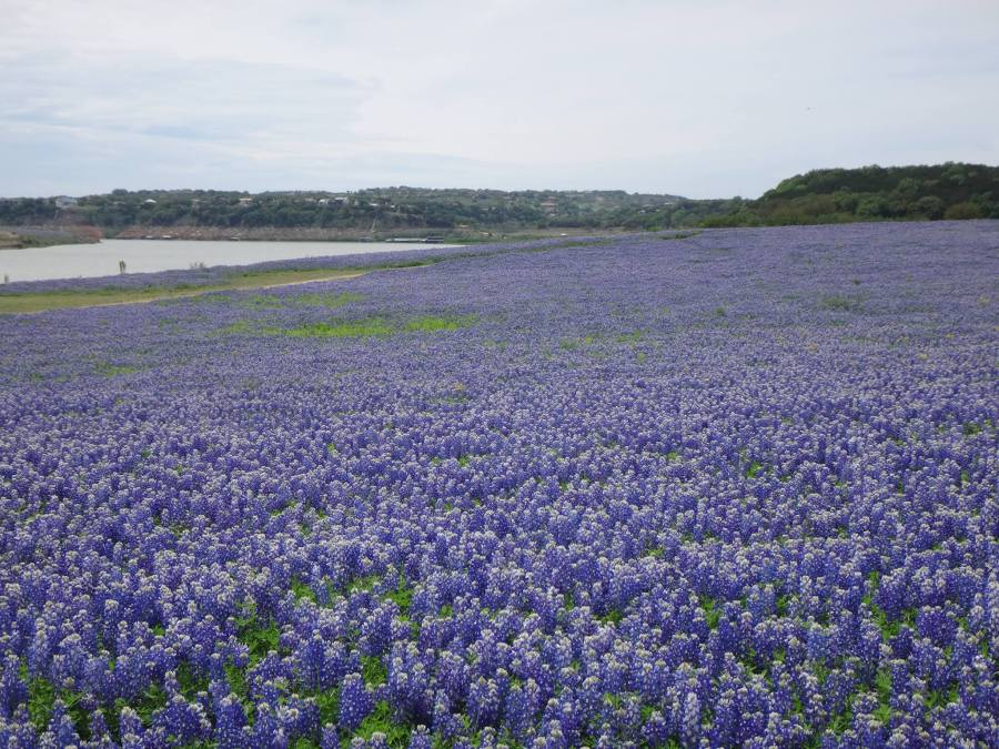 We seem to have developed an unplanned tradition that every April, we show Texas bluebonnets. Here's what they looked like a few days ago at Muleshoe Bend. (Finley Harris)