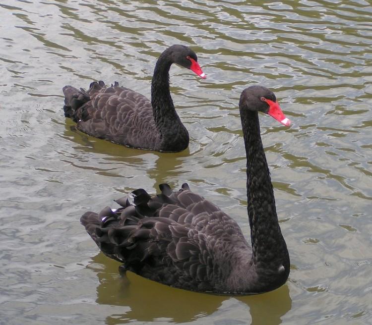 Black swans, a symbol of Western Australia. (Wikipedia)