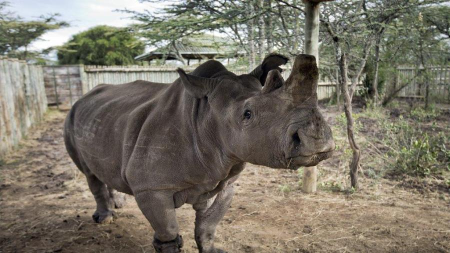 The last Northern white rhinoceros in Kenya is kept in a special preserve and closely monitored to save it from poachers. (Ben Curtis/Associated Press)