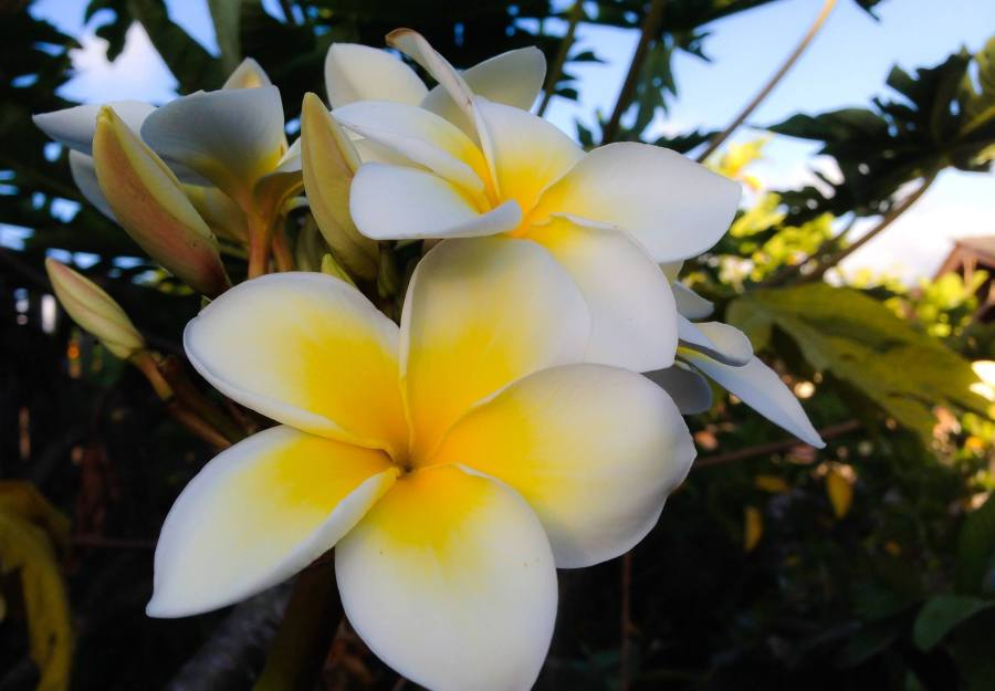 Plumeria, Hawai'i: all that grows upon the earth, sing praise and give honor for ever.