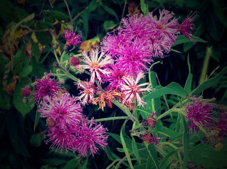 Sing praise and give honour forever, you ironweed of Missouri. Does this plant have any medicinal properties? St. Hildegard would know, as she was an early physician. (Maria L. Evans)