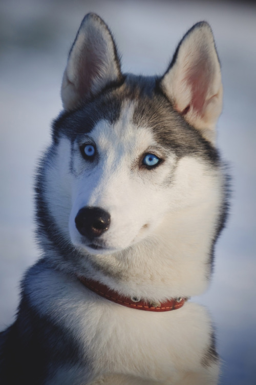 For joy in God's creation: a blue-eyed husky.