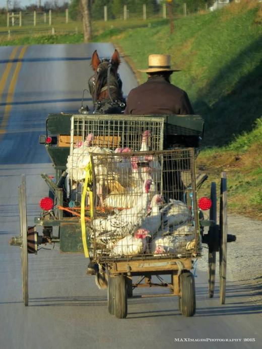 The U.S. Thanksgiving Day is coming up, and last week these turkeys in Lancaster County, Pennsylvania found themselves headed to market in the back of an Amish pickup truck. (Michael Sheely)