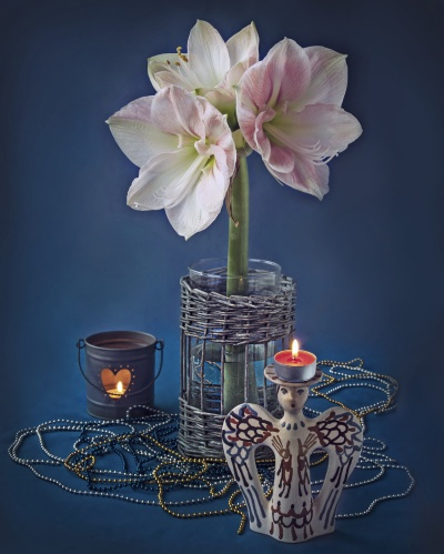 Hippeastrum, commonly known as amaryllis