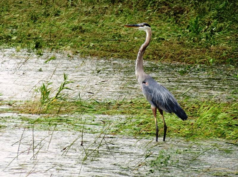 Great blue heron, Muscatatuck National Wildlife Reserve, Indiana. (D. Stanley/U.S. Fish and Wildlife Service)