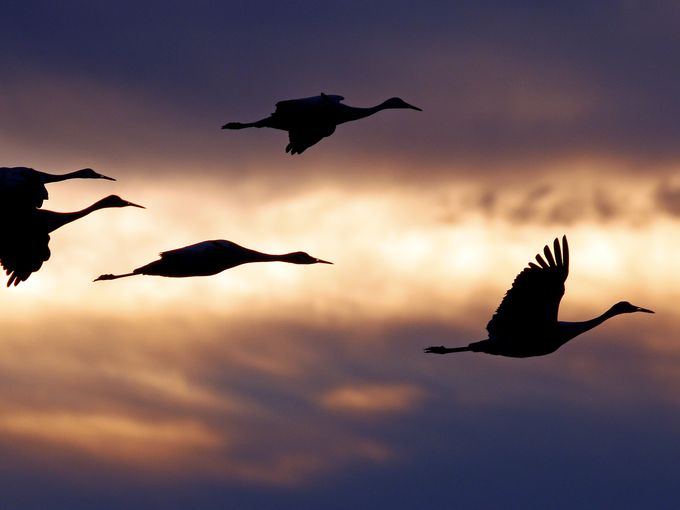 For the beauty of the Earth: sandhill cranes at Jasper-Pulaski Wildlife Area in Northwest Indiana, during their migration last fall from Alaska to Florida. Tens of thousands gather there over a period of weeks to rest, feed and display their mating dance. (Mark Wright)