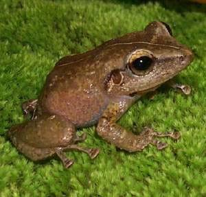 For joy in God's creation: common coquí, a little frog indigenous to Puerto Rico. (U.S. Department of Agriculture)