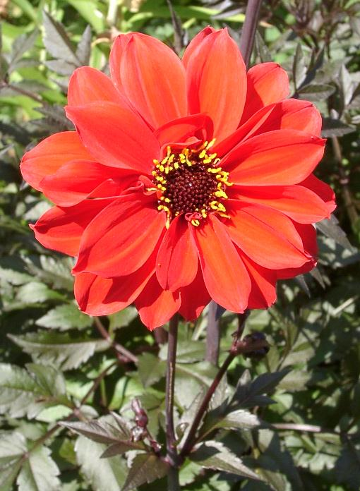 A dahlia known as the Bishop of Llandaff (Wales), named for Joshua Pritchard Hughes, who died in 1938. For beautiful creatures like this, sing praise and give honor for ever! (Ramin Nakisa)