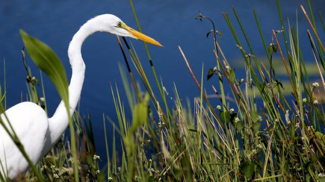 For joy in God's creation: an egret in the Florida Everglades. (Joe Raedle/Getty Images)