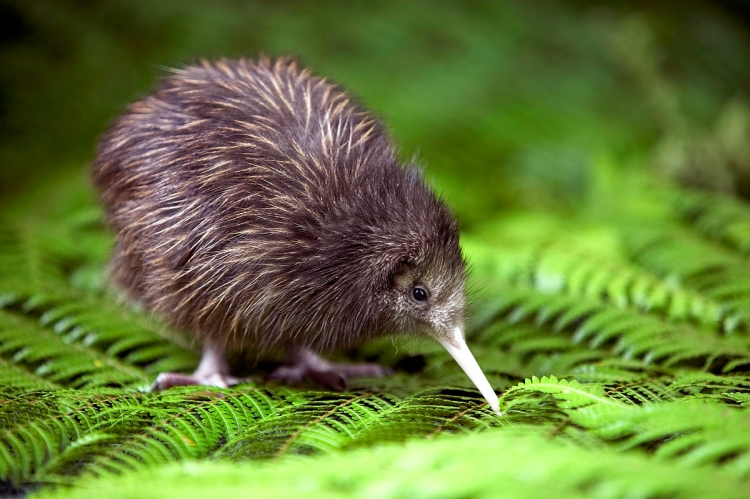 Brown kiwi, bird without wings, give to our God your thanks and praise. (adjectivespecies.com)