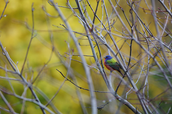 For joy in God's creation: male painted bunting in Prospect Park, Brooklyn, N.Y. (Kirsten Luce/The New York Times)