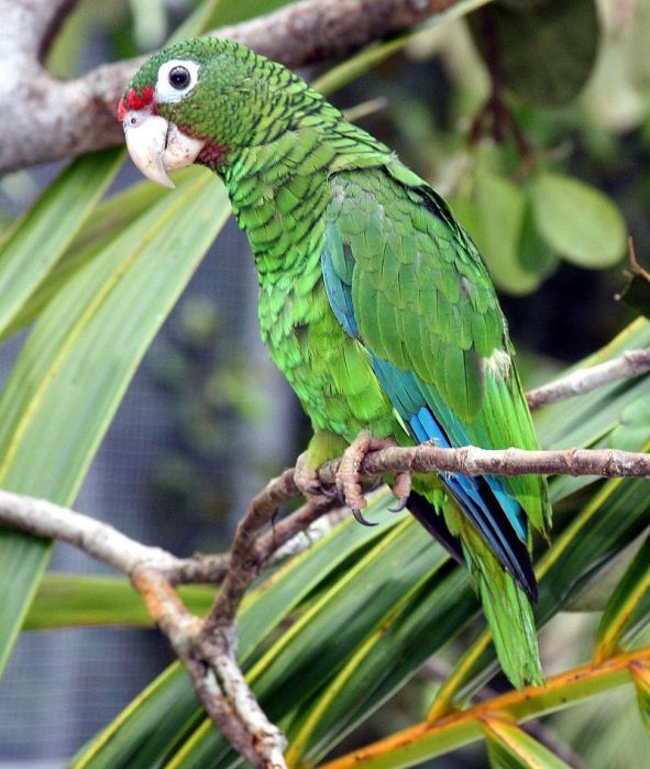 For joy in God's creation: Puerto Rican parrot (Tom MacKenzie, U.S. Fish and Wildlife Service)