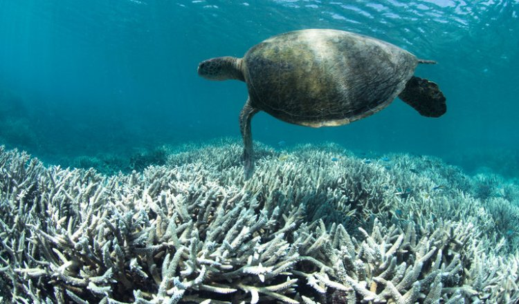 Now comes word that a UNESCO report on climate change is missing a whole chapter on Australia, censored by the government to minimize loss of tourism due to calamitous bleaching of the Great Barrier Reef – while pursuing a big new coal project. It's pure insanity. (XL Catlin Seaview Survey)