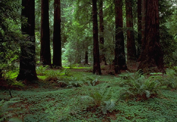 Muir Woods National Monument, California: sing praise and give honor for ever.  (Wikipedia)