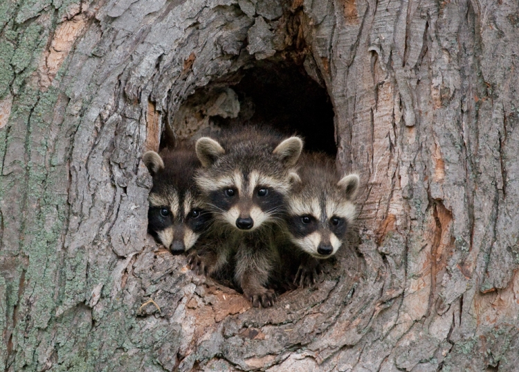 O possums and raccoons, glorify the Lord: * praise him and highly exalt him for ever. (wildsafebc)