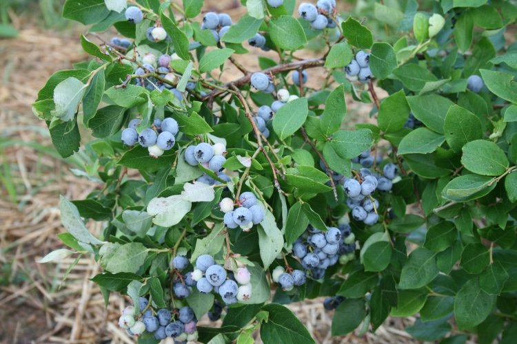 Where I live, it will be another month before the blueberry bushes sing praise and give honor for ever – and I am hoping they will be in good voice this year! (source unknown)