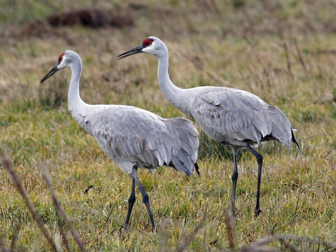 A pair of sandhill cranes, with the telltale red stripe over their eyes; they are famous for their mating dance, but once paired, they are monogamous. Sing praise, O you birds, and give honor! (Mark Wright)