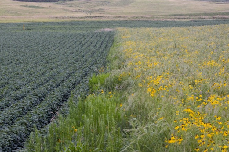 The prairie grasses and flowers that farmers ripped out of the soil of the U.S. Midwest 200 years ago to plant food crops are now being replanted in a few pilot programs in Iowa as a way to save topsoil and prevent fertilizer runoff, like that which has caused huge dead spots in the Gulf of Mexico. A 3-acre strip of prairie grass next to a soybean field in Iowa is part of the experiment; it's teeming with birds, bees, butterflies and other critters, and the plants' deep roots hold onto the soil, according to early calculations. The program is voluntary and many farmers are reluctant to try it; some USDA extension agents are for it, some are against it, according to the Washington Post, but a new lawsuit threatens to upend the status quo: the city of Des Moines has sued three upstream counties for failing to contain ag runoff, resulting in elevated nitrate levels in the state capital's water supply. The buffer zones don't take much land out of production but result in higher yields; maybe Mother Nature was right all along. (Andrew Dickinson/Washington Post)